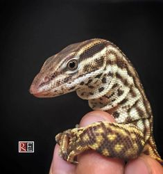 """rate-my-reptile: """"reptilefacts: """"Stunning female red """"ackie"""" - Varanus acanthurus Bred and photographed by Rare Earth Inc """" SOA, HM, Tell me ewhat's make you good fitt foer this jobb. Reptiles Facts, Reptiles Et Amphibiens, Mammals, Big Lizard, Lizard Dragon, Monitor Lizard, Dual Monitor, Terrarium Reptile, Reptile Room"""