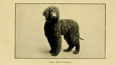 15 Incredible Facts About Irish Water Spaniel - Barking Royalty