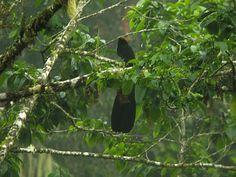 Huon Astrapia (Astrapia rothschildi)