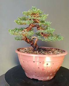 Bonsai is generally a tree or plant that has actually been kept smaller sized than its typical size. The technique to making a bonsai plant is to frequently prune the tree every spring Bonsai Ficus, Buy Bonsai Tree, Bonsai Tree Types, Bonsai Tree Care, Juniper Bonsai, Indoor Bonsai, Bonsai Plants, Bonsai Garden, Jade Plant Bonsai