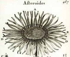 "#AUTHENTIC FINE COPPER ENGRAVING from the 1700s. Taken from ""Eléments de botanique - Méthode pour comprendre les plantes"",  Joseph Pitton de Tournefort (1656-1708), french b... #lithograph #1700s #antique #authentic #botanical #aster #daisy #flower #petal"