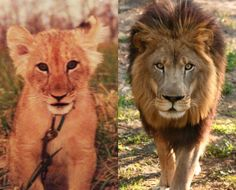 Joseph as a cub and as an adult lion today http://bigcatrescue.org/2012/today-at-big-cat-rescue-may-11-ohio-legislative-update