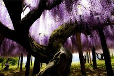 Wisteria Tunnel @ Kawachi Fuji Gardens in Kitakyushu, Japan – Flower Tunnel of Japan!