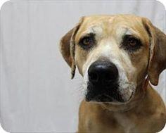 Hank - Labrador Retriever/Boxer mix - 6 yrs old - Jessamine County Animal Shelter - Nicholasville, KY. - http://www.jessamineanimalshelter.com/ - https://www.facebook.com/Jessaminecountyanimalshelter - http://www.adoptapet.com/pet/11148234-nicholasville-kentucky-labrador-retriever-mix