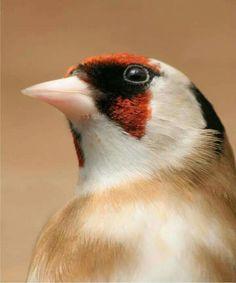 Goldfinch mutant