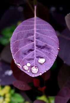 Purple Leaf w/ Dew Drops