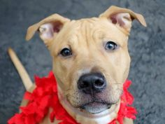 Manhattan Center GINGER - A1023061 SPAYED FEMALE, BROWN / WHITE, AMERICAN STAFF MIX, 5 mos STRAY - ONHOLDHERE, HOLD FOR ID Reason ABANDON Intake condition EXAM REQ Intake Date 12/13/2014, From NY 10467, DueOut Date 12/13/2014, https://www.facebook.com/photo.php?fbid=922656821080531