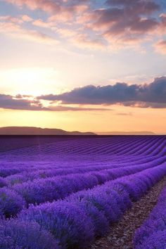 Sunset in lavender field, France