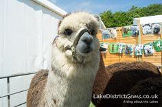 WhyNot Alpacas at the Holker Garden Festival 2016