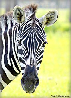Zippy the Zebra!