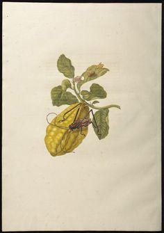 archivalia:    Maria Sibylla Merian, 1705 -http://www.gnm.de/index.php?id=439