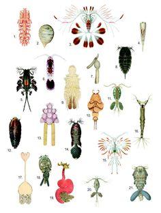 Illustration showing diversity of copepod forms. 1. Philichthys xiphiae 2. Sarcotaces sp. 3. Calocalanus pavo 4. Farranula rostrata 5. Copilia vitrea 6. Paracalanus parvus 7. Clavella adunca 8. Copilia quadrata 9. Chondracanthus zei 10. Phyllothyreus cornutus 11. Acanthocyclops vernalis 12. Sapphirina ovatolanceolata 13. Chondracanthus ornatus 14. Corycaeus obtusus 15. Euaugaptilus filigerus 16. Monstrilla longispinosa 17. Sphyrion lumpi 18. Caligus elongatus 19. Lernaeocera branchialis 20…