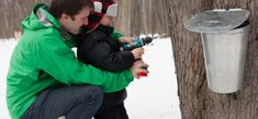How to know when it is time to tap maple trees