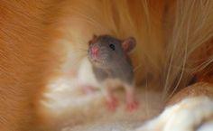 Rat - good image