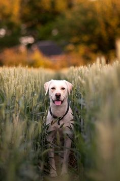 Yellow Labrador