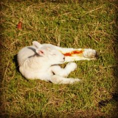 Check out this entry in Show us what you love about Yorkshire to win!! Photo caption: New born lamb in the warmth of sun