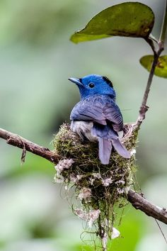 Black Naped Monarch