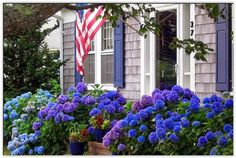 Cape Cod Hydrangeas - Look at those purples!