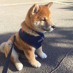 Shiba Inu, Shiba Puppy, Akita Puppies, Dogs And Puppies, Doggies, Feral Heart, Baby Animals, Cute Animals, Really Cute Puppies