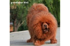 Do khyi Tibetan Mastiff Welpen