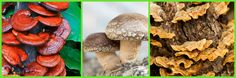 Medicinal Mushrooms Healing Broth Recipe