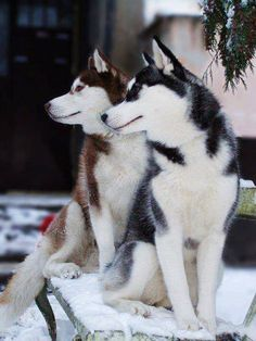 Wonderful All About The Siberian Husky Ideas. Prodigious All About The Siberian Husky Ideas. Wolf Husky, Siberian Husky Dog, Husky Puppy, Beautiful Dogs, Animals Beautiful, Cute Animals, Cute Puppies, Cute Dogs, Dogs And Puppies