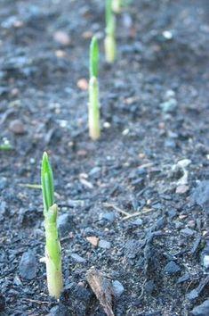 Quand et comment planter l'ail ? Growing Food, Outdoor Gardens, Green Thumb, Garden, Landscape, Plants, Herbs, Garden Veggies, Vegetable Garden