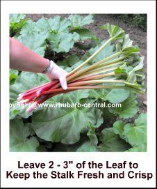 Harvesting Rhubarb When and How To Harvest (Pick)  Rhubarb Stalks  A wealth of rhubarb information & recipes. Great site