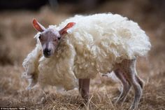 Skippy, a  lamb who was born without fur, was given his own woolly jumper at a farm in Hungerford, Berkshire
