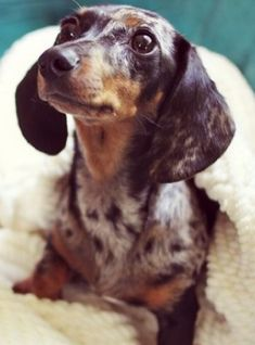Sweetest little Doxie eyes, dapple doxies got to love them.