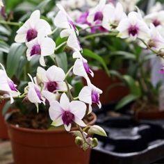 Irina Opachevsky: beautiful tropical flower orchid Dendrobium in pot