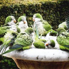 Ah... Parakeets Singing Music ;-)