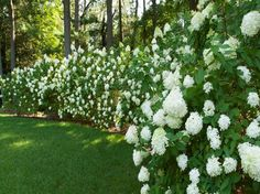 Privacy Hedge Ideas | Beautiful Privacy Hedges Gardening Ideas with white flower