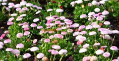 Delicații bănuți, plante terapeutice de mare forță | Paradis Verde