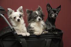 Three Pack #chihuahua