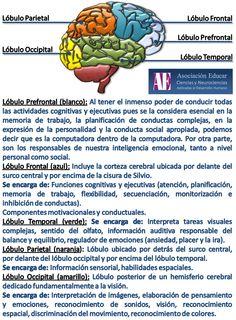 Ilustracion Neurociencias: Lóbulos cerebrales - Asociación Educar Ciencias y Neurociencias aplicadas al Desarrollo Humano  www.asociacioneducar.com