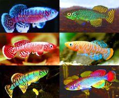 Different types of killifish
