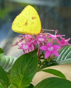 Pentas or Star Flower (Pentas lanceolata): All colors of this annual are a draw for butterflies, but red seems to be especially popular. Types Of Butterflies, Butterfly Plants, Blue Butterfly, Beautiful Butterflies, Visit Egypt, Star Flower, Dream Garden, Container Gardening, All The Colors