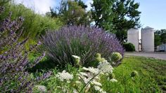 Lavender mingles with Queen Anne's Lace at Los Poblanos Inn, Albuquerque, New Mexico
