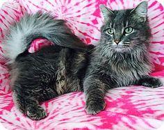 Addison, IL - Maine Coon. Meet Mystical, a cat for adoption. http://www.adoptapet.com/pet/14841235-addison-illinois-cat