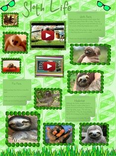 Sloths Are Medium Sized Mammals Belonging To The Families Megalonychidae And Bradypodidae Classified Into