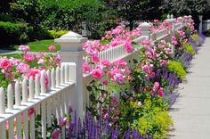 Garden Fence Pink Roses Sage Speedwell Catmint