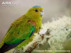 Fuertes's parrot a critically endangered parrot from Central Colombia.  (Proaves)