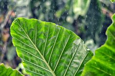 A Taro plant grown just beside my house. Took this pic when it was raining..   #IamNikon #greenery #plants #rain #vegan