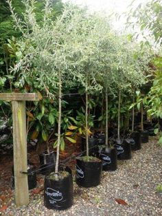 Weeping Silver Pear – PYRUS salicifolia 'Pendula' 45lt – Jan