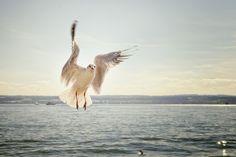 Gull Flight Flying See Lake Constance Bird
