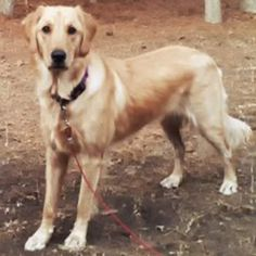 This is Lilly - 1 yr old. She is an owner surrender. She is potty trained, spayed and up to date with vaccinations. She needs continued training and a forever home that will provide plenty of daily mental & physical exercise and lots of love. She is at Grateful Golden Retriever Rescue Low Country S.C.