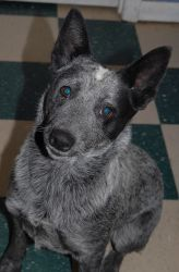 Bluey is an adoptable Australian Cattle Dog (Blue Heeler) Dog in Shelbyville, TN. Bluey is a beautiful blue cattle dog. She is about a year old and already knows many commands. She is very intelligent...