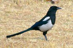 Urraca - Pica pica La urraca común, también conocida como picaza, picaraza, marica y pega, es una especie de ave paseriforme de la familia Corvidaes que habita en Eurasia y el norte de África.