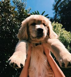 look at this little golden boy Cute Dogs And Puppies, Baby Dogs, I Love Dogs, Doggies, Cute Baby Animals, Animals And Pets, Funny Animals, Chien Golden Retriever, Golden Retrievers
